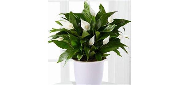 -Женское счастье-, цветок: уход в домашних условия (фото)