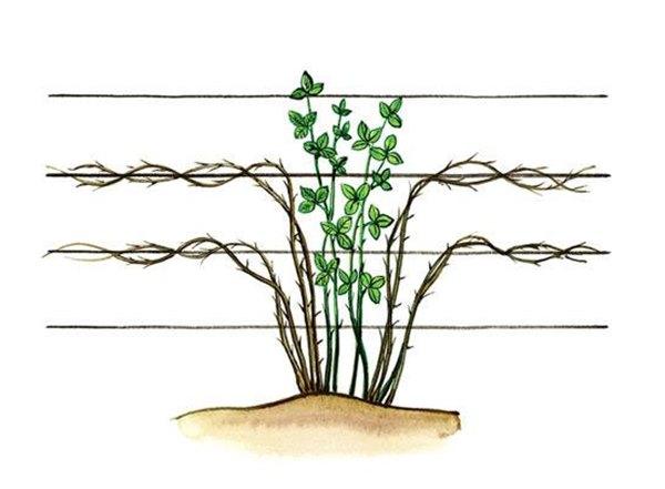Посадка и выращивание ежевики: малинки с кислинкой
