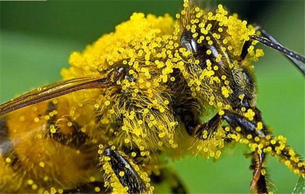 Пчелиная пыльца: как её применяют, в чём её польза и вред