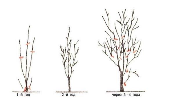 Слива: уход, способы и сроки обрезки и подкормки - успех большого урожая