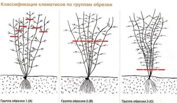 Как провести пересадку клематиса осенью