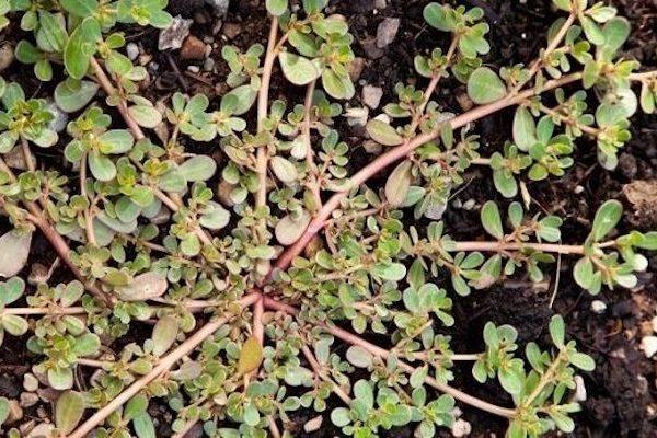 Это не сорняк – а укрепляющее здоровье чудо-растение!