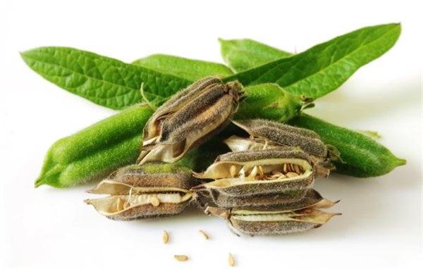Целебный кунжут: полезные свойства растения и его использование