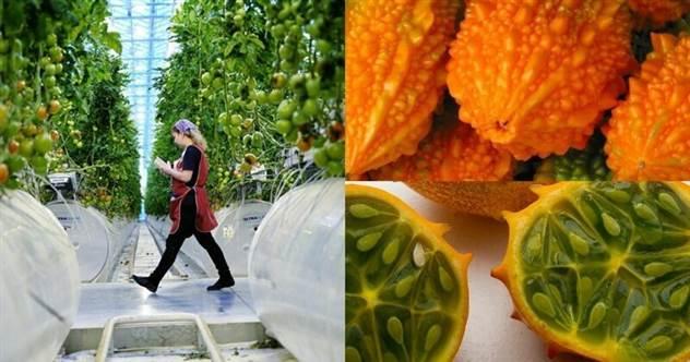 Ученые предложили россиянам заменить капусту на момордику                      ( 3 фото )
