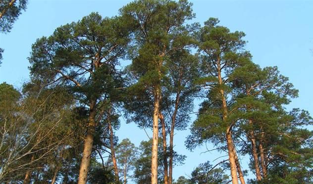Ухожу в лес: 6 деревьев которые помогут заблудившемуся ( 3 фото )