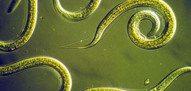 Учёные из Японии научились диагностировать рак при помощи червей