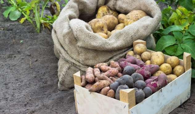 Популярные сорта картофеля