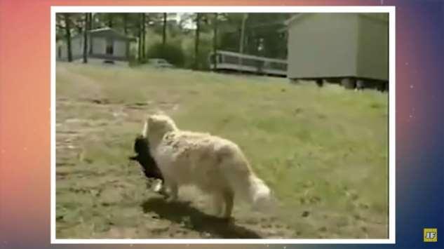 Кошка не смогла совладать с материнским инстинктом и похитила соседских щенков