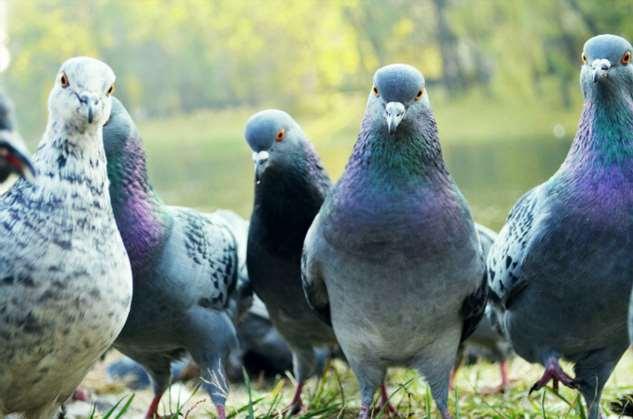 Опасность городских голубей