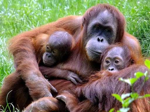 Угроза заражения коронавирусом нависла и над высшими приматами