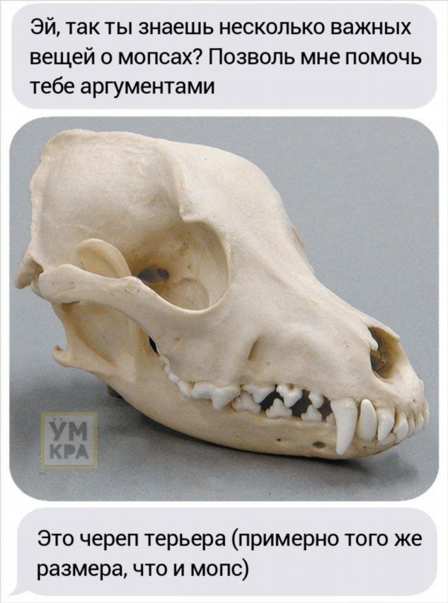 Парень хотел завести мопса, но его друг сравнил черепа собак, доказав, что это жестоко