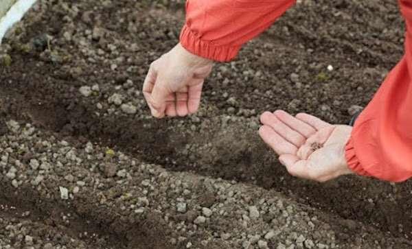 Как нельзя сажать редис: 7 ошибок, которые приводят к тому, что редис вытягивается, мельчает, вырастает волокнистым