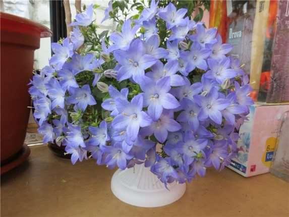 Помните цветы «Жених и невеста»? Есть ещё  сорт