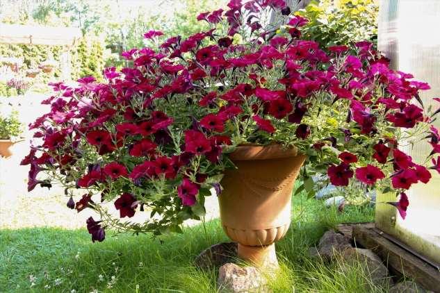 Как прищипывать рассаду петунии: простая схема — пышный цветущий куст