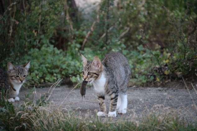 Почему коты приносят мёртвых животных домой и как их остановить?