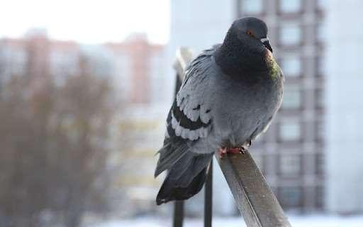 Действенные методы по избавлению от надоедливых голубей на подоконнике