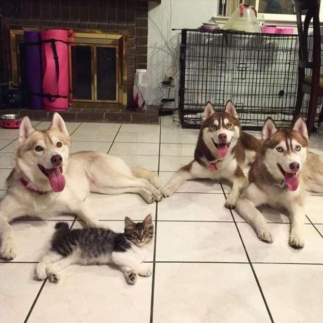 Кошка выросла рядом с собаками хаски, уверенна, что она  хаски