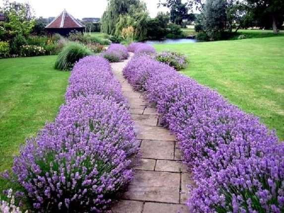Лучший цветок для бордюров с изумительным запахом