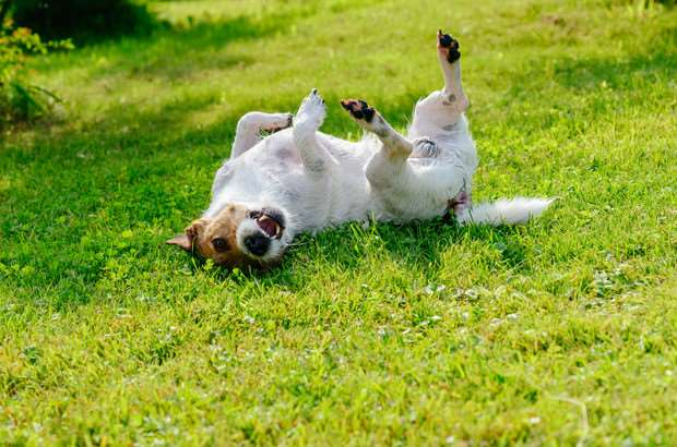Как вытащить клеща у собаки