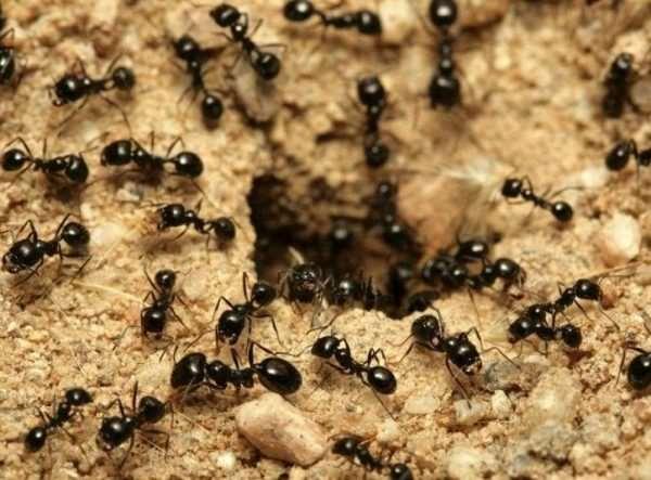 Как быстро избавиться от муравьев на даче