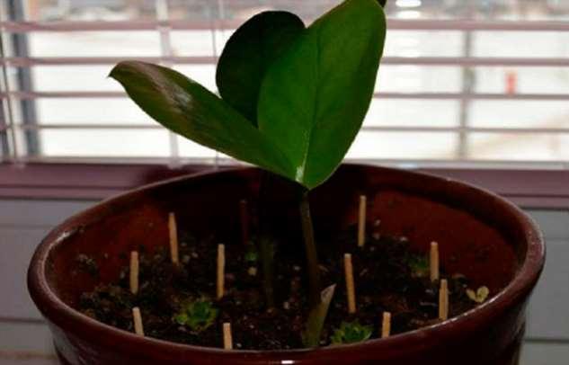 Обычные спички могут спасти умирающее растение