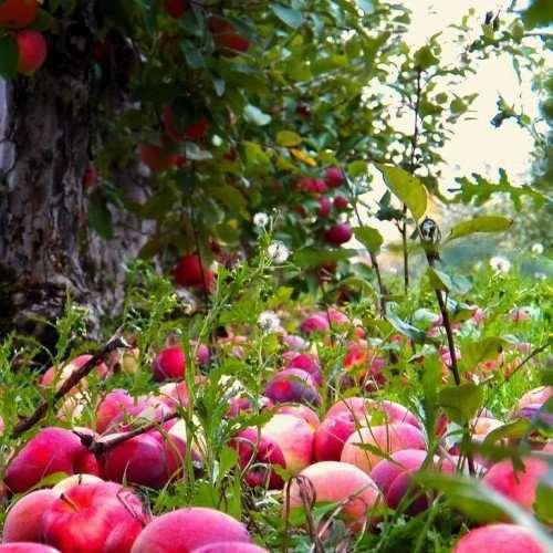Что сделать вкусного из падалицы яблок и груш