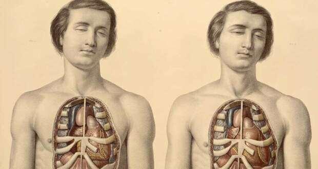 Человеческий орган, о котором вы не знали